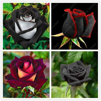 100 pcs/bag Rare Rose Seeds - Black Rose Flower with Red Edge (Other Color Options Available)