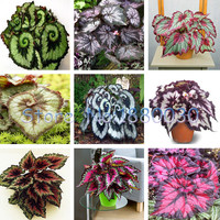9 colors 30PCS Beautiful Begonia flower seeds flowers potted bonsai garden courtyard balcony Coleus seeds