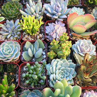 300 Mix Succulent Cactus Seeds Lotus Lithops Pseudotruncatella Bonsai Plants Home Gardening Flower Pots Planters Balcony