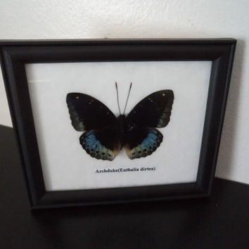 Real Butterfly Framed Display Archduke Taxidermy Lepidopterology Entomology Zoology