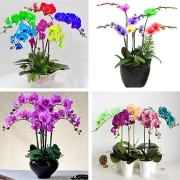 50PCS Phalaenopsis Orchid Plant Butterfly Orchid Potted Seeds Phalaenopsis Orchid Indoor Flowers Bonsai Potted Home Garden Plant