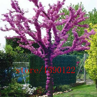 20pcs Cercis seeds cercis siliquastrum bonsai flower seeds Chinese Redbud tree seeds plant for home garden