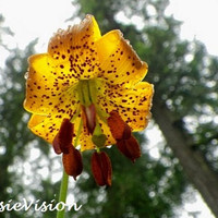 Tiger Lily- 5x7- Digital Image- Pacific Northwest- Washington- Evergreen State- Nature- Yellow Orange Green- Instant Download