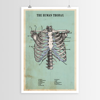 The Human Thorax POSTER