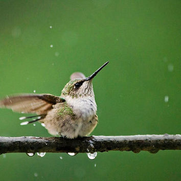 Hummingbird Shower, 8x10 Photo Print, Hummingbird Photography, Wall Art, Bird Art