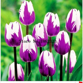 100PCS/bag HOT Rainbow Tulip Seeds Rare Flowers Seeds Perennial Bonsai Plant Gift For Home Garden Courtyard Beautify