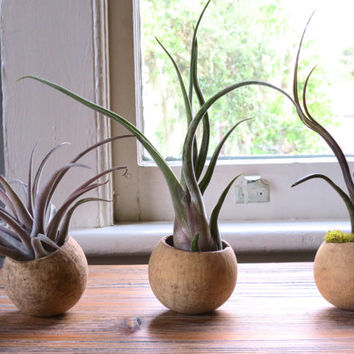 Seed Pods with Exotic Air Plants