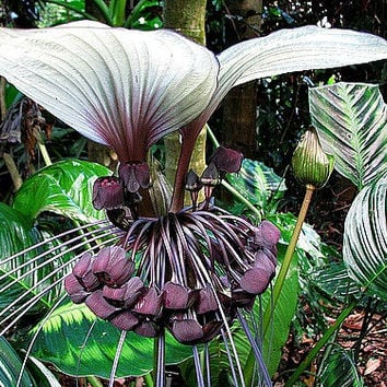 Tacca integrifolia, Cat's Whiskers, 15 seeds, exotic tropical houseplant, gigantic blossoms, warm misty shade, seeds grown in the USA