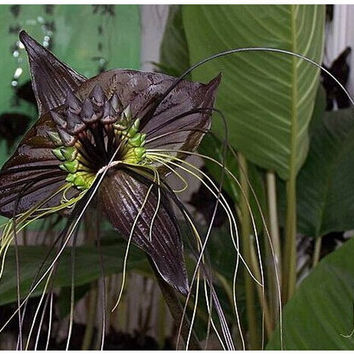 10 Tacca Integrifolia Seeds- Giant Bat Plant-Exotic Seeds-Orchid Seeds-Beautiful Flower-Black Orchid-Fresh Seeds