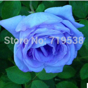 Chinese Blue Rose Seeds Your Lover Plant For Sweet Lover 100seeds bag