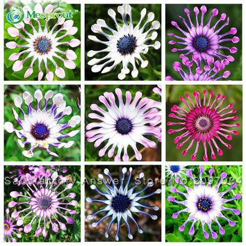 Hot Selling Rare 5 Colors Available Hot Selling 100 PCS Osteospermum Seeds Potted Flowering Plants Blue Daisy Flower Seeds