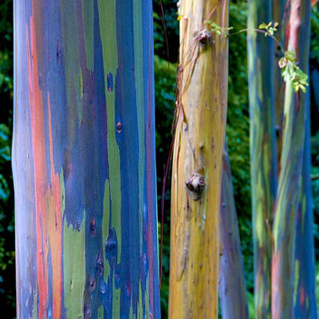 Rainbow Eucalyptus deglupta, showy tropical tree, 30 rare seeds, bonsai, houseplant, greenhouse, zones 10 to 11, fast growing, spectacular