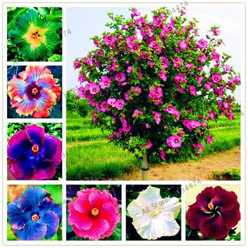 100pcs/bag24 colors giant hibiscus seeds Dinnerplate Hibiscus Perennial Flower  Flower for home garden planting