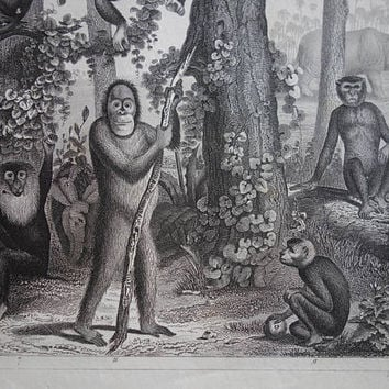 MONKEYS antique print - 1849 original old print of apes monkey ape vintage pictures rhino chimps orang-utan poster illustration - 9x12 inch