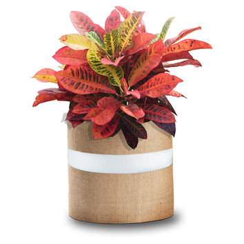 "36"" Multicolor Croton Plant, Live, Trees"