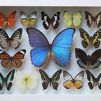 LUXURY REAL 13 MIX BEAUTIFUL BUTTERFLY IN FRAME DISPLAY INSECT TAXIDERMY