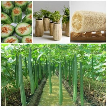 20pcs hot sale rare new loofah seeds garden climbing vegetable plant Seeds of perennial garden for garden