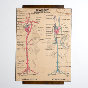 Rabbit Circulatory System Antique Poster