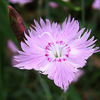 Pink Carnation, Dianthus allwoodii, 25 Seeds, Perennial Flower