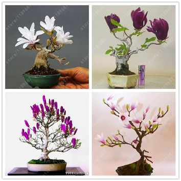 30 pcs/bag - Bonsai Magnolia Tree -  Indoor or Ourdoor Potted Plant Seeds and DIY