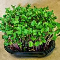 Red Radish Microgreen Wellness Kits, Grow Your Own 2 Crops of Fresh & Live Microgreens to Harvest and Consume Right in Your Home
