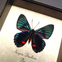 Gift Under 25 Shadowbox  Framed Necyria Duellona Real Metallic Red Spotted Butterfly 712v