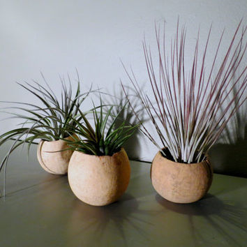 Natural Seed Pods with Tillandsia Aeranthos, Juncea, and Stricta Hybrid // Exotic & Easy-To-Care-For!