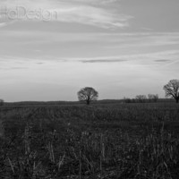 Two Lone Trees in a Field - 8 x 10 Photograph