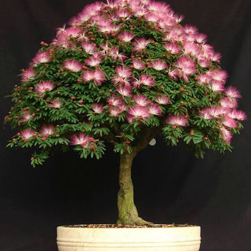 10 Mimosa Silk Tree (Albizia Julibrissin ) Seeds, Fresh Exotic Bonsai Seeds, Rare Bonsai Seeds