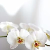 Faux White Phalaenopsis Orchids