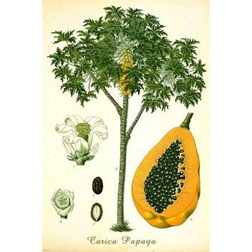 PAPAYA TREE classic botanical poster VIBRANT FRUIT singular EXOTIC 24X36