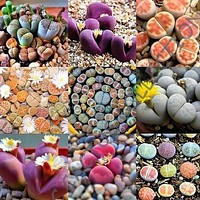 Lithops Species Mix (Stone Plant) 20+Seeds
