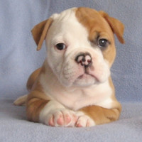 american bulldog puppies - Google Search