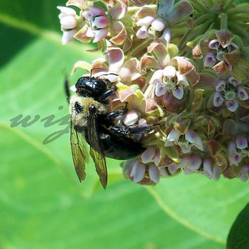 Bumble Bee Photo Wall Art Home Decor 8x10 Photo Wildlife Floral Photography