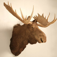Shoulder Mount Trophy Bull Moose with Antler Spread, circa 1930s