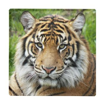 Big Cat Tiger Photo Glass Coaster