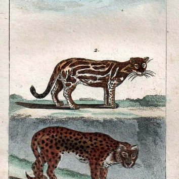 1802 Hand Colored Engraving from Buffon's Natural History Jaguar and Ocelot Rare Antique French Engraving,  Cats Illustration