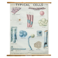 Vintage Classroom Pull Down Science Chart of Typical Cells