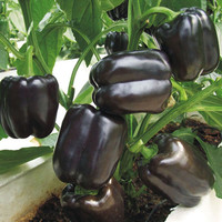 Black Sweet Pepper Seeds Balcony Potted Organic Vegetable Seeds Chili Pepper Seeds 100 Particles Potted Plant