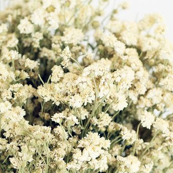 "Dried Achillea of the Pearl Yarrow - 3 oz Bunch - 11"" Tall"