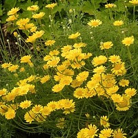 Marguerite Daisy Yellow Flower Seeds (Anthemis Tinctoria Kelwayi) 100+Seeds