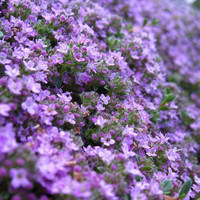 Heirloom 200 Seeds Thyme Thymus Serpyllum Purple Herbs Groundcover Flower Fresh Bulk Seed A038