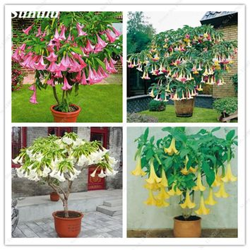 100 Pcs Mixed Brugmansia Datura Seeds, Dwarf Brugmansia Angel Trumpets Bonsai Flower Seeds,Rare Potted Plant For Home & Garden