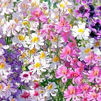 Butterfly Flower Angel Wings Seeds (Schizanthus x Wisetonensis) 200+Seeds