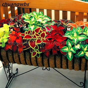 100 Pcs Mix Colors Blumei Seeds, Can Also Attempt to Bonsai - Has Colorful Flower and Leaves