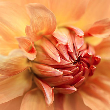 Flower photography, botanical photo print, fine art photograph, spring flower photo, floral wall art, peach dahlia, wall decor print