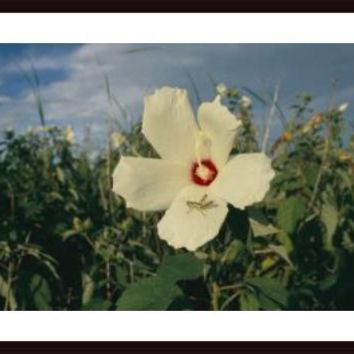 A close view of a delicate Marsh Mallow flower Althaea Officinalis, framed black wood, white matte