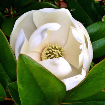 Dallas Magnolia | Nature Photography | Landscape | White | Green | Flower | Tree | Dallas, Texas | Fine Art Photography