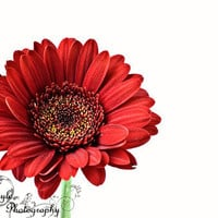Gerbera Daisy Photo Fine Art Photography gerber Daisy Print large red wall art