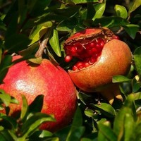 Pomegranate Tree Seeds (Punica granatum) 15+Seeds